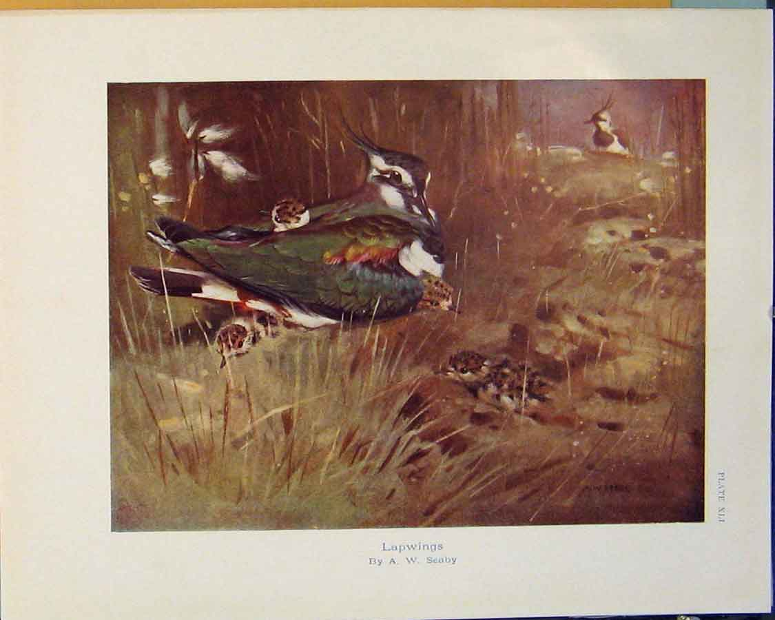 Print Lapwings Seaby Bird Chicks Fowl Color 026381 Old Original
