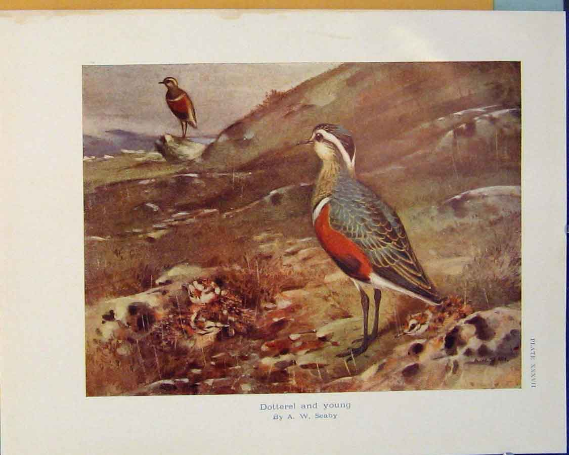 Print Dotterel Young Birds Color Art C1910 056381 Old Original