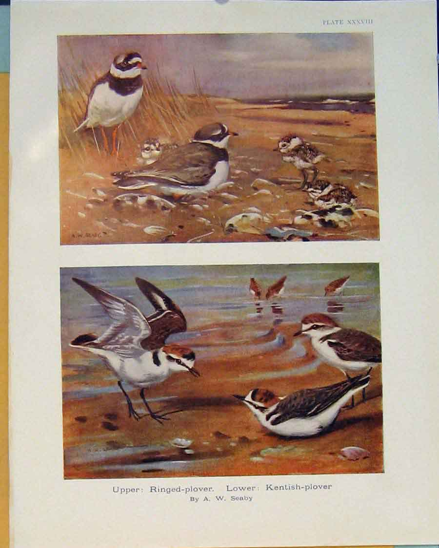 Print Ringed-Plover Ringed Plover Kentish Plover Bird 066381 Old Original