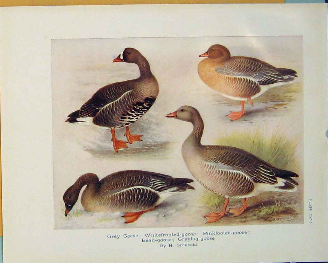 Print Grey Geese Whitefronted Goose Pinkfooted Bird 116381 Old Original