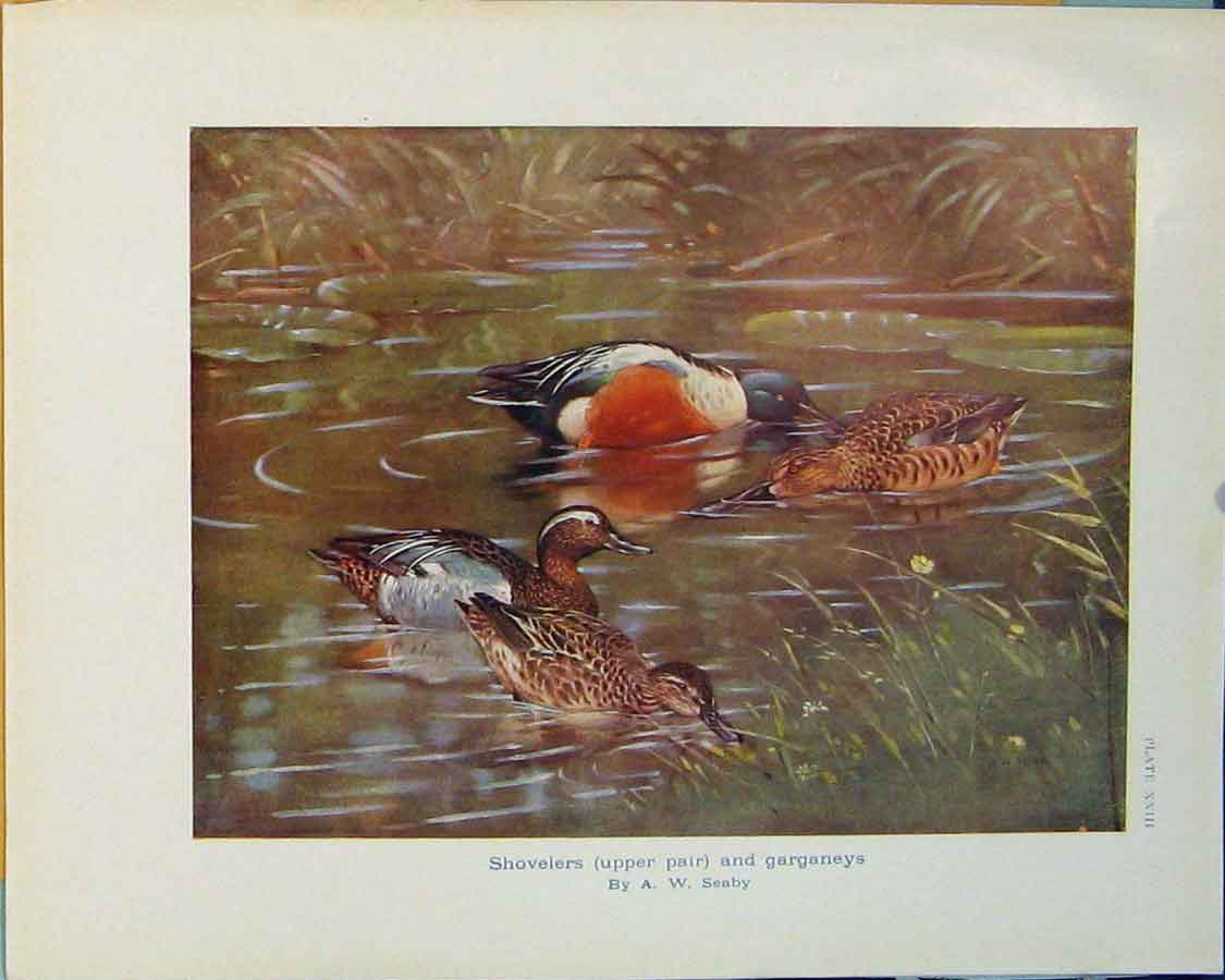 Print Shovelers Garganeys Bird Color Art Duck 156381 Old Original