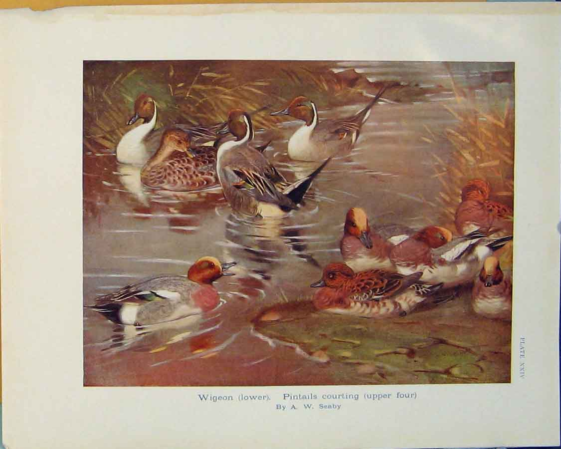 Print Wigeon Pintail Bird Duck Geese Color Art 166381 Old Original