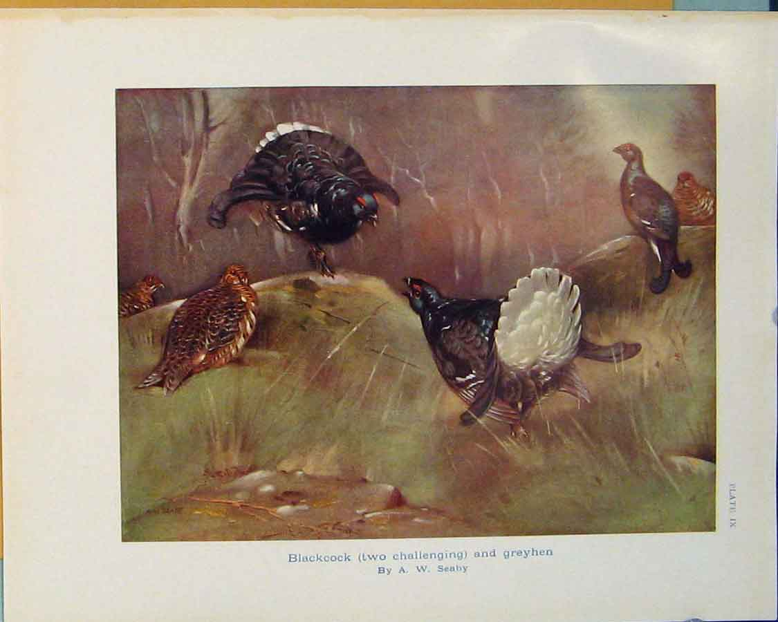 Print Blackcock Greyhen Hen Bird Birds Color 286381 Old Original