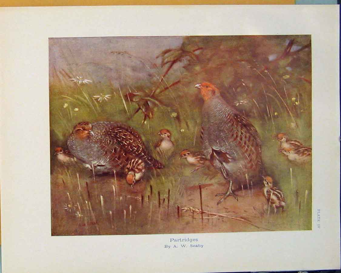 Print Partridge Color Bird Birds Fine Art C1910 306381 Old Original