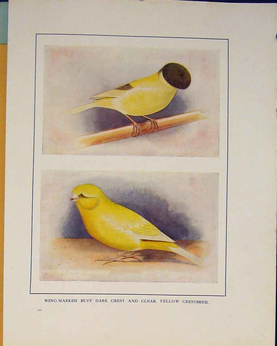 Print Dark Crest Crestbred Color Bird British 066401 Old Original
