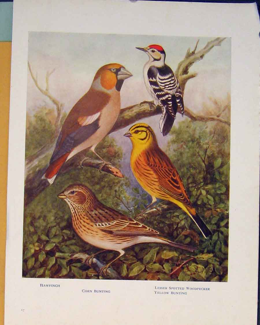 Print Spotted Woodpecker Bunting Hawfinch British Birds 136401 Old Original