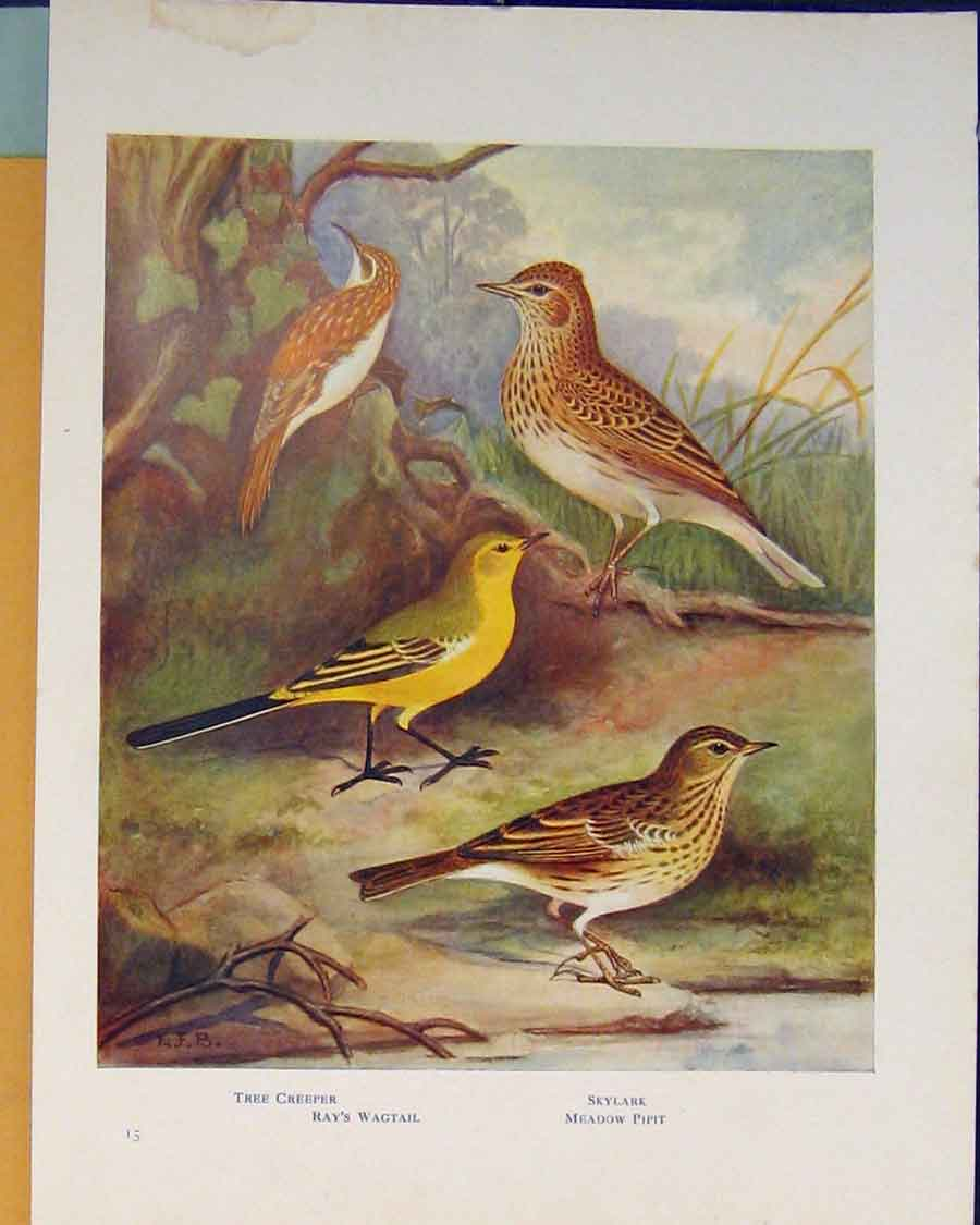 Print Tree Creeper Wagtail Skylark Pipit Color 146401 Old Original