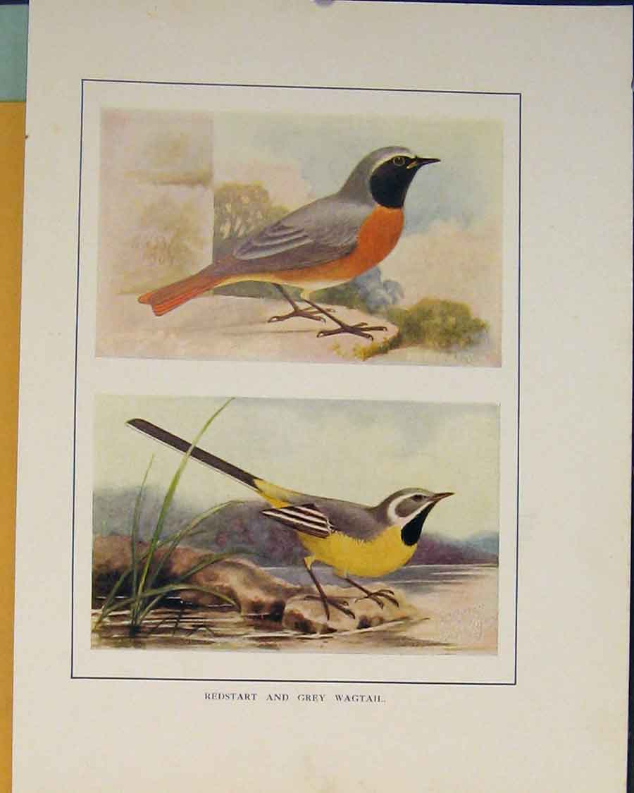 Print Redstart Grey Wagtail Color British Brids 156401 Old Original