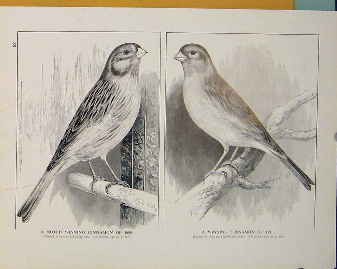 Print Cinnamon Canary 1888 1891 British Birds 306401 Old Original