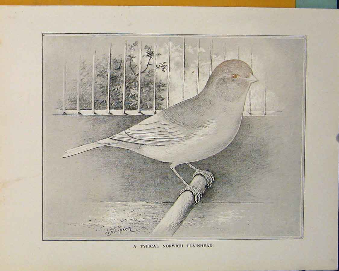 Print Norwich Plainhead Bird Fine Art Mono 1911 456401 Old Original