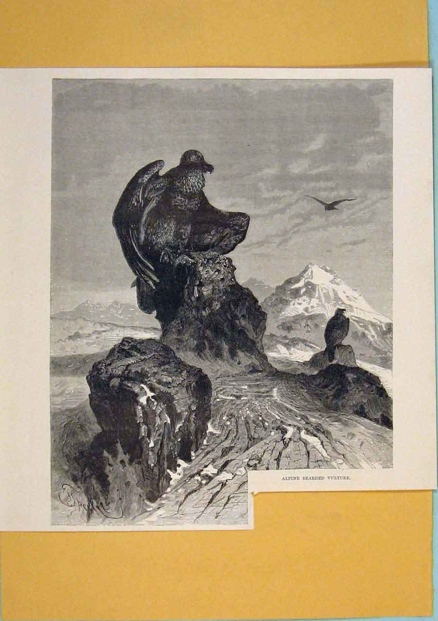 Print Alpine Bearded Vulture Perched Switzerland Mountain 336411 Old Original