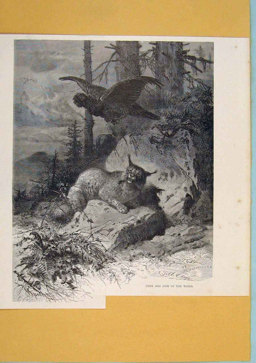 Print Lynx Coack Woods Animals Switzerland 566411 Old Original