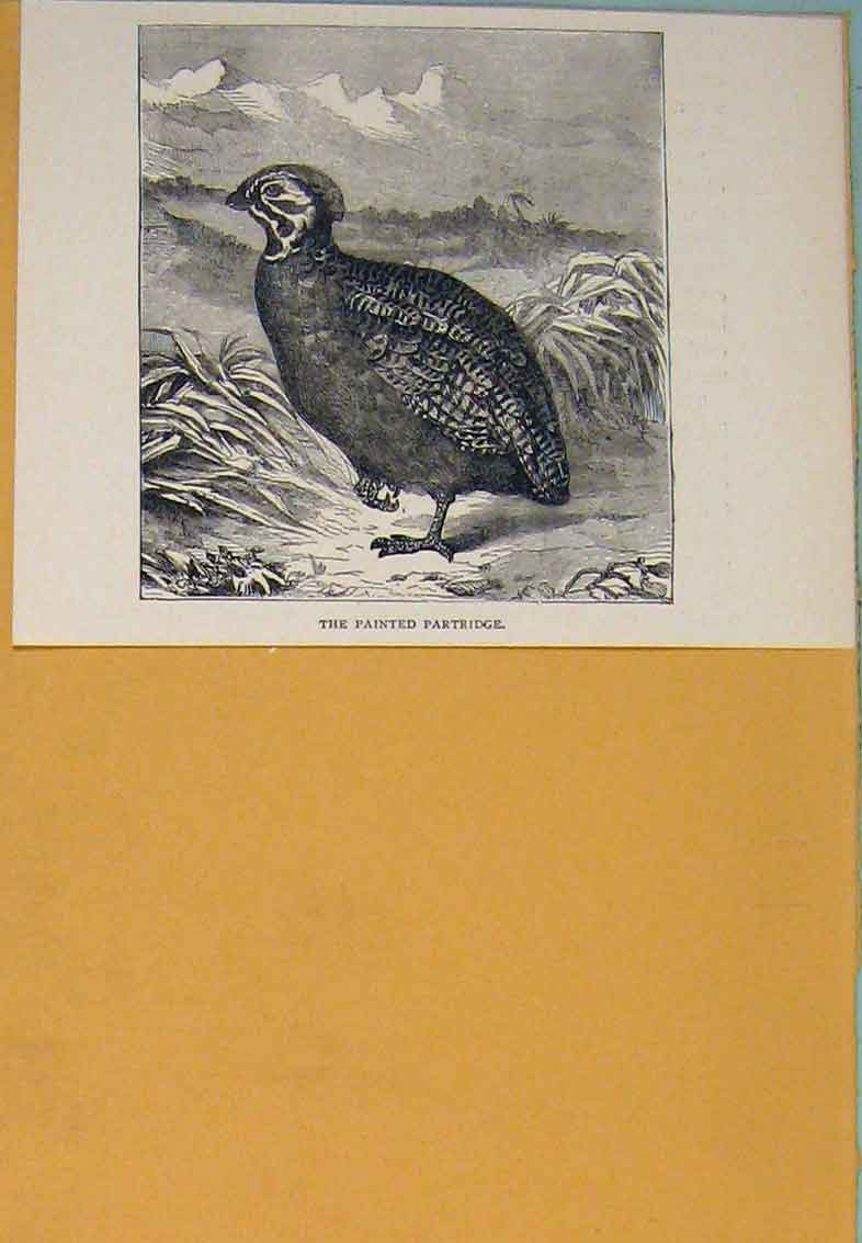 Print Painted Partridge Partridges Bird Birds Fowl 056431 Old Original