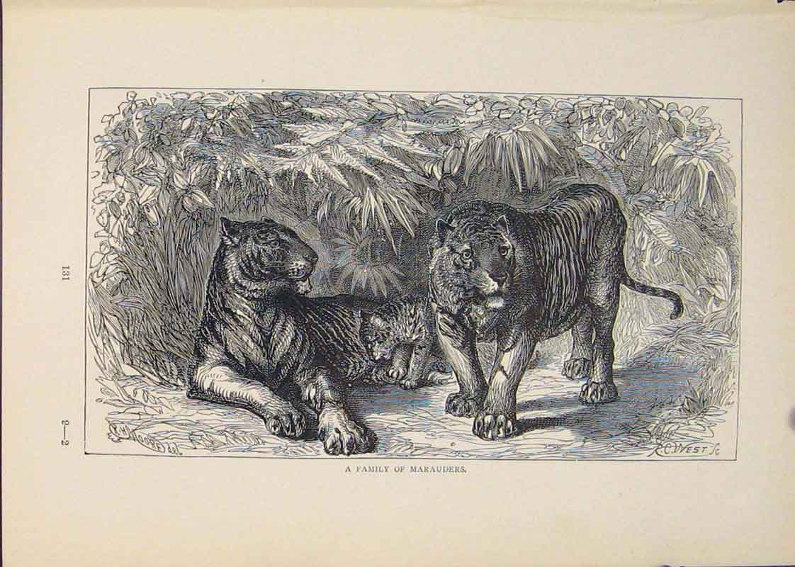 Print Marauders Tiger Tigers Lion Lions Cat Cats 446431 Old Original
