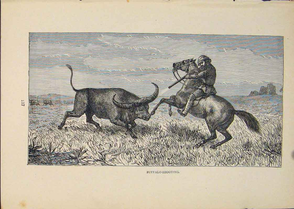 Print Buffalo Hunt Hunting Hunter Bull Cow 646431 Old Original