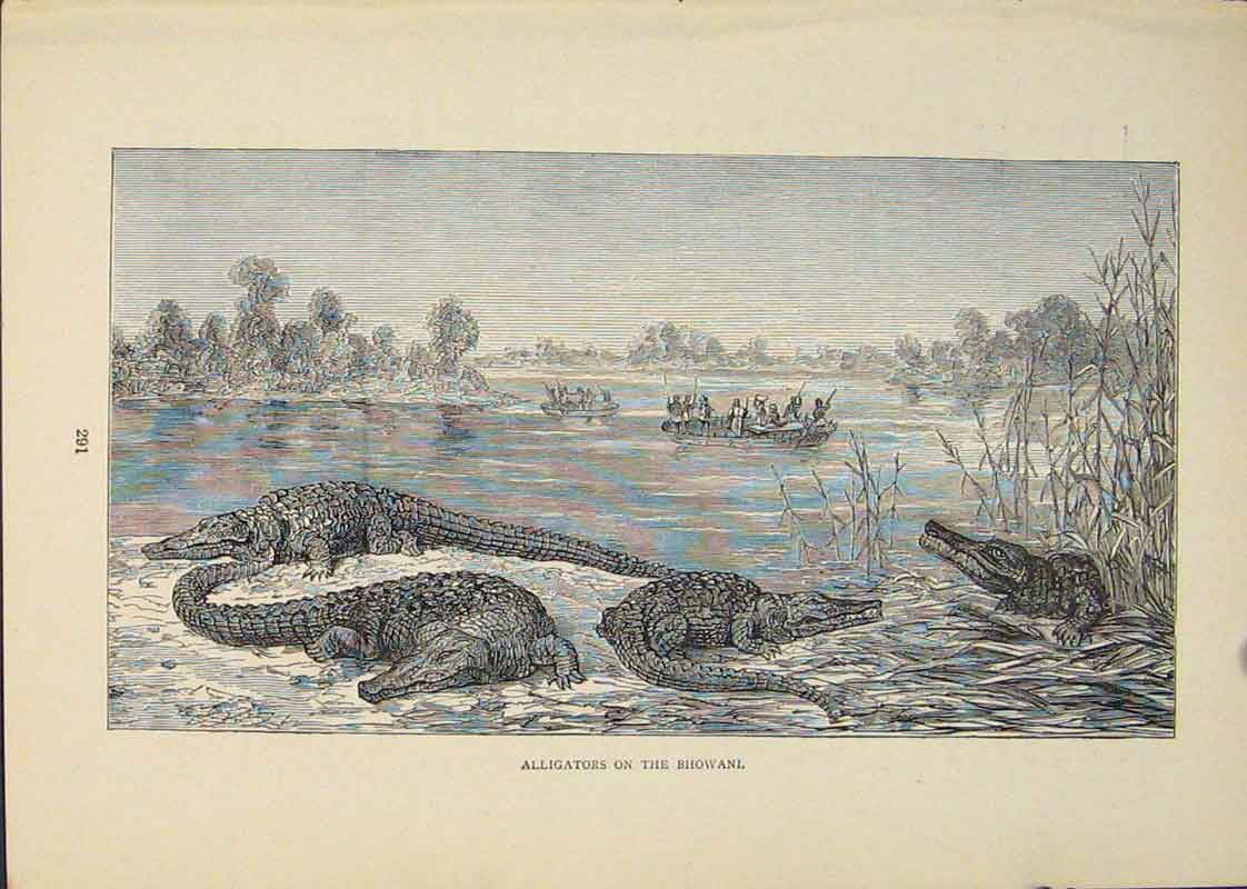 Print Alligators Bhowani Alligator River 796431 Old Original