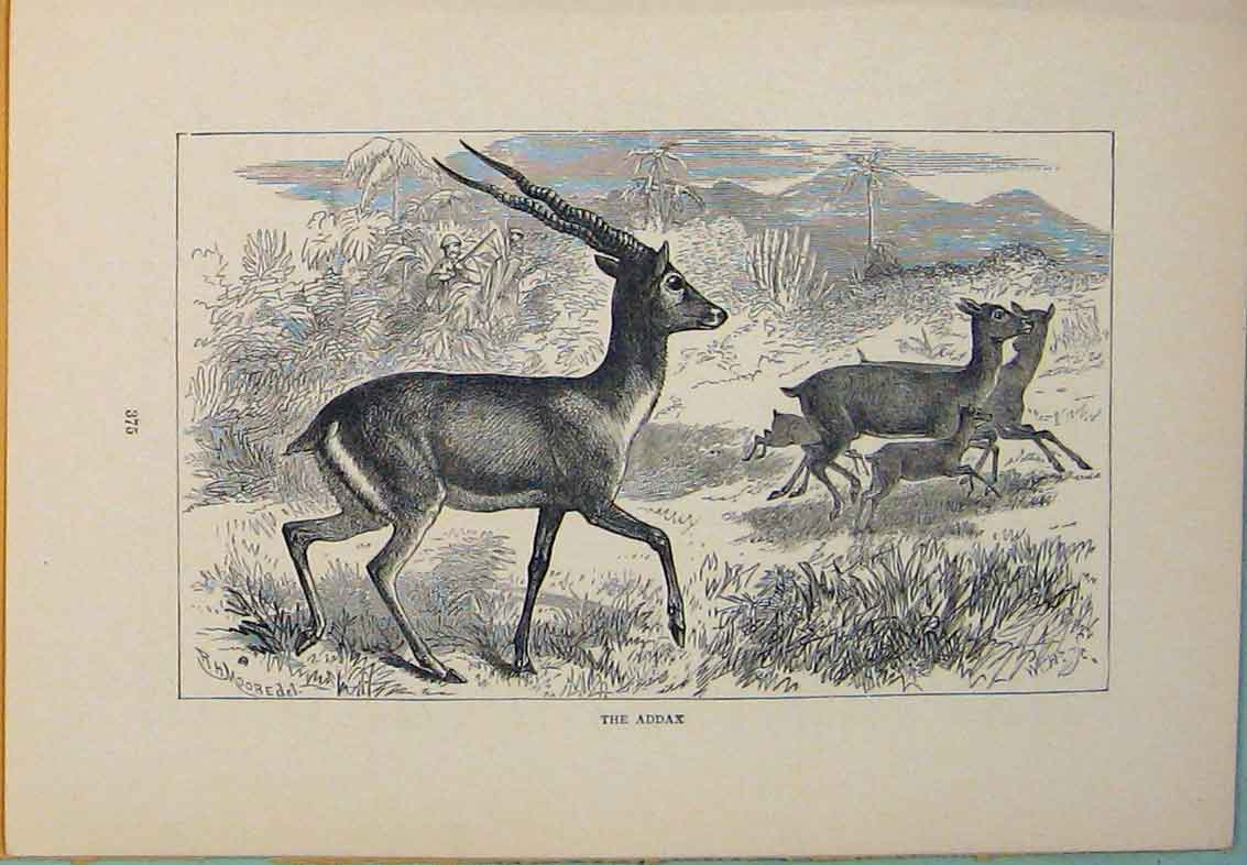 Print Addax Buck Bucks Animal Animals Art 036431 Old Original