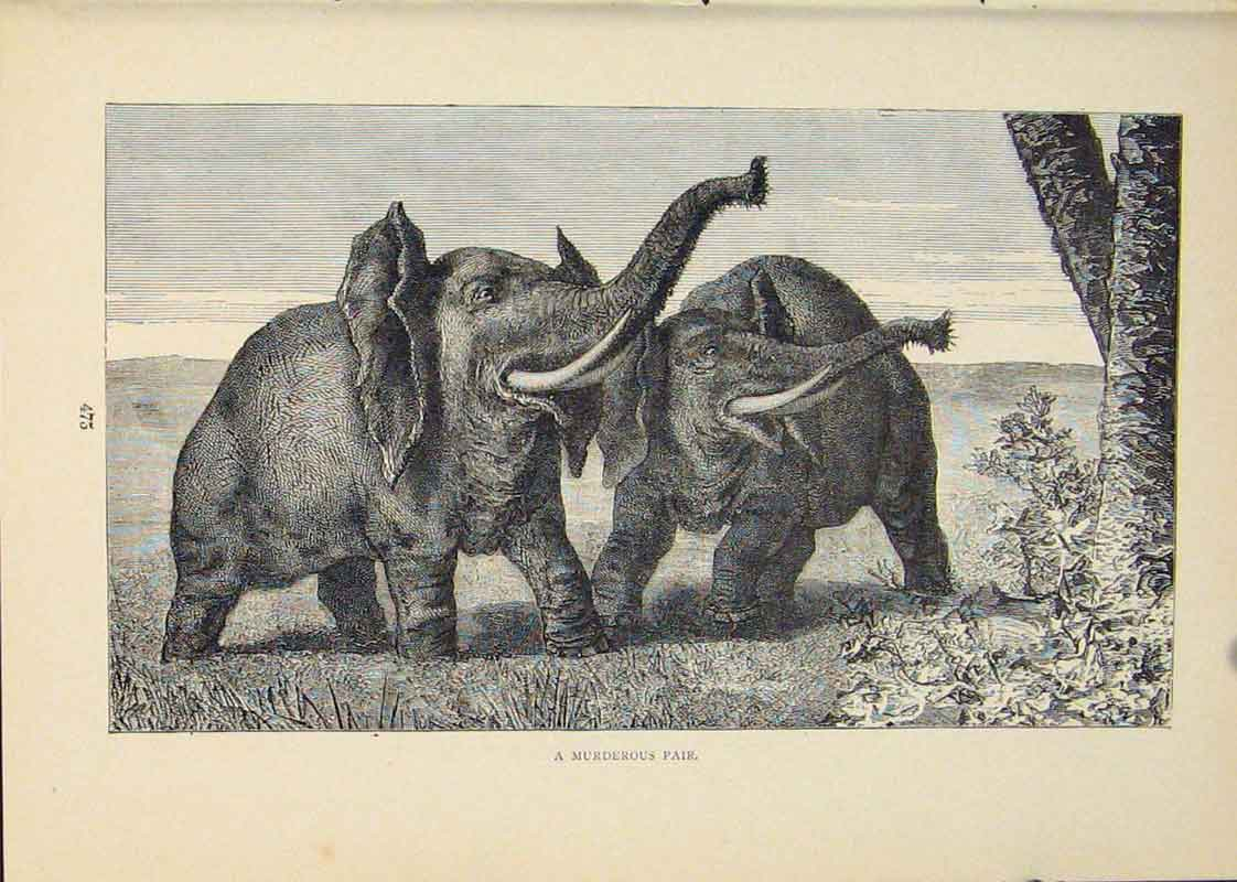 [Print Elephant Elephants Tusk Tusks Ivory Animal Animals Art 246431 Old Original]