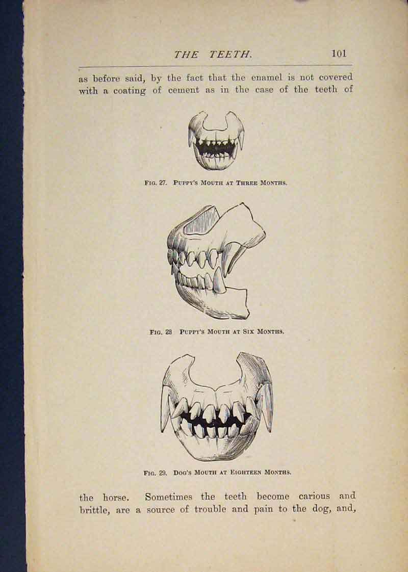 Print Teeth Dog Dogs Puppy Puppys Tooth Art 186441 Old Original