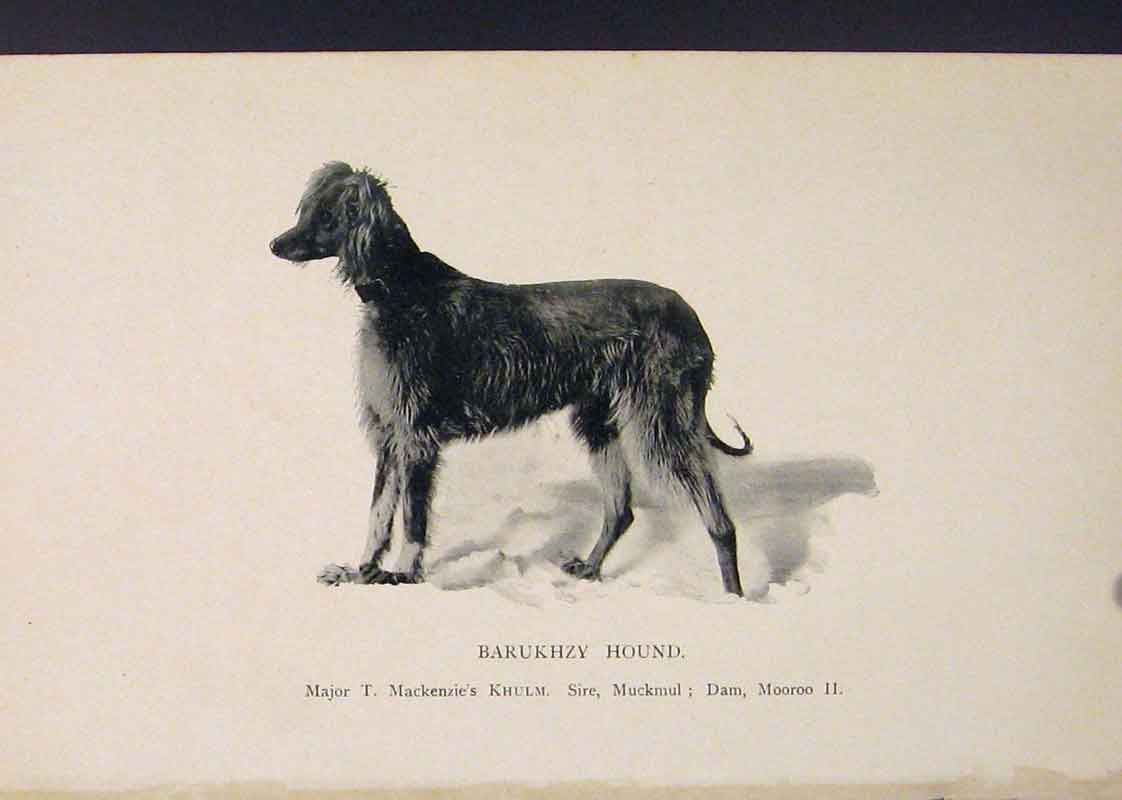 Print Barukhzy Hound Hounds Dog Dogs Art 276441 Old Original