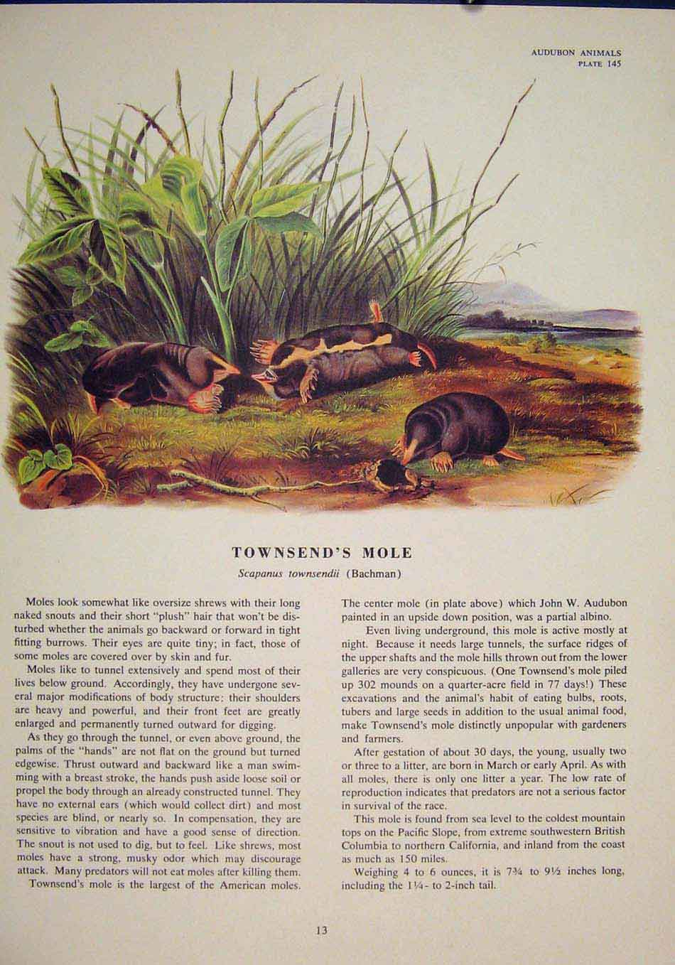 Print Townsend Mole Rat Rats Shrew Mouse Rodent Color 136491 Old Original
