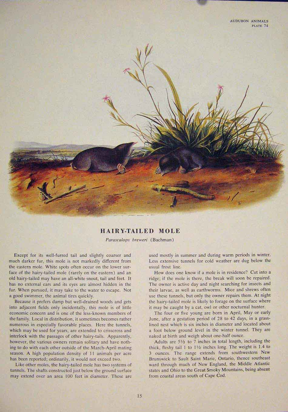 Print Hairy Tailed Mole Rat Rats Shrew Mouse Rodent Color Art 156491 Old Original