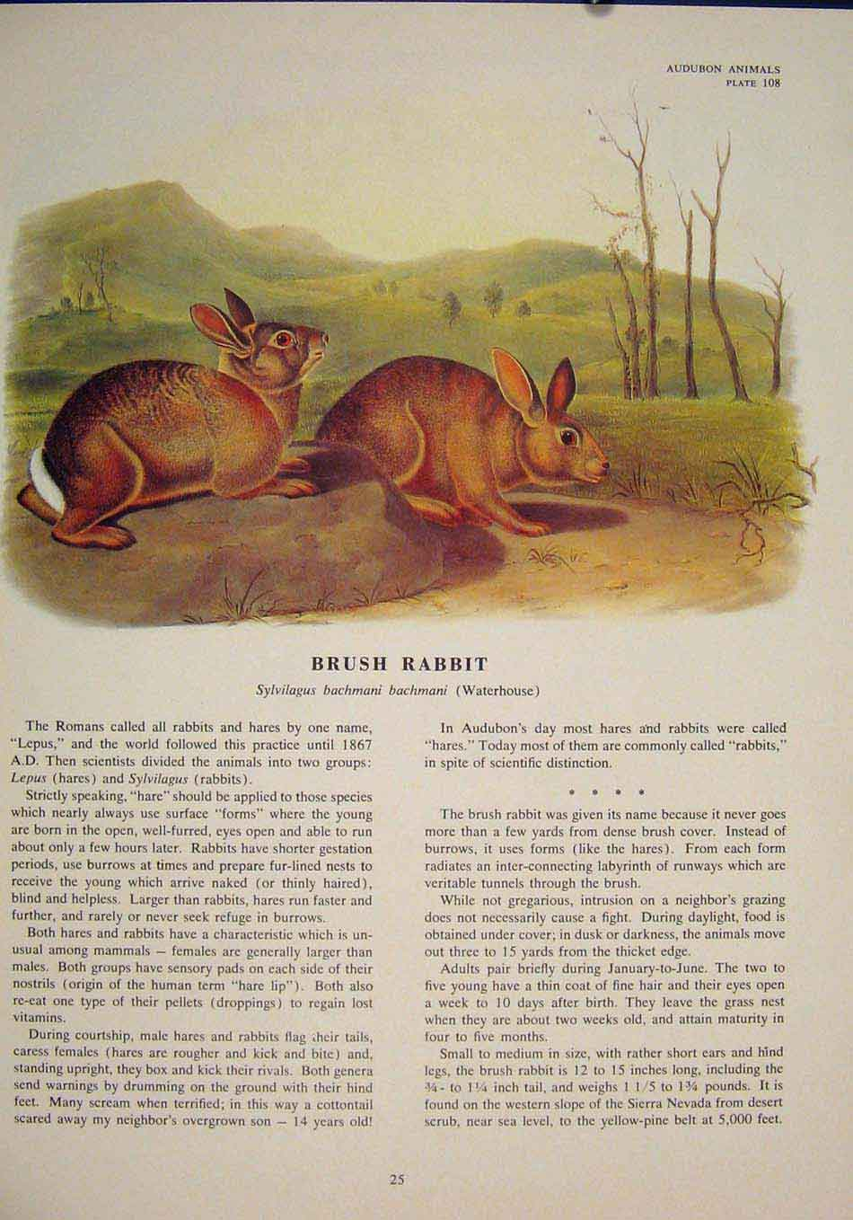 Print Bush Rabbit Rabbits Rat Rats Shrew Rodent Color 256491 Old Original