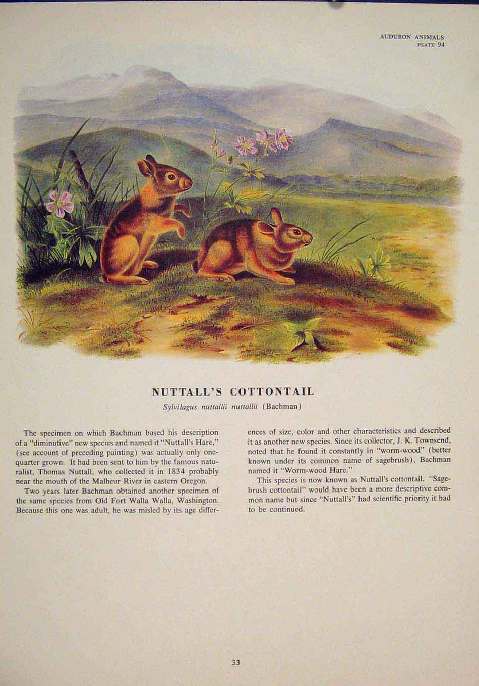 Print Nuttalls Cottontail Rabbit Rabbits Bunny Color 336491 Old Original