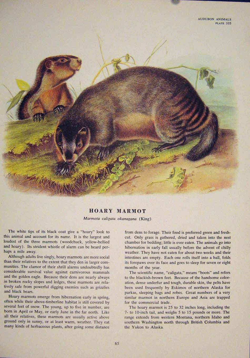 Print Hoary Marmot Rat Rats Rodent Color Art 656491 Old Original