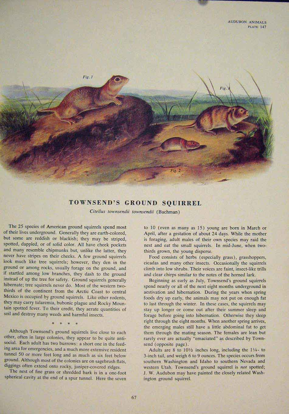Print Townsends Ground Squirrel Squirrels Color 676491 Old Original