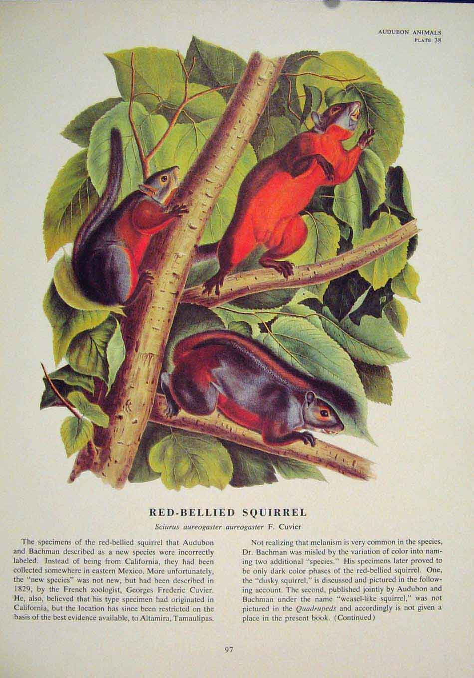 Print Red Bellied Squirrels Squirrel Color Art 976491 Old Original