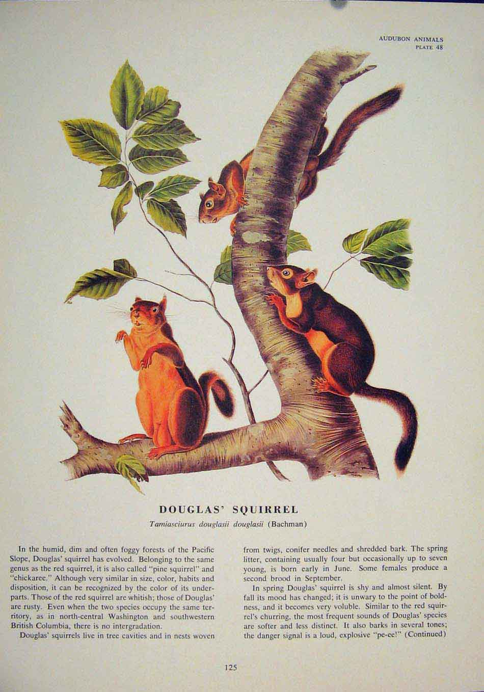 Print Douglas Squirrels Squirrel Color Fine Art 256491 Old Original