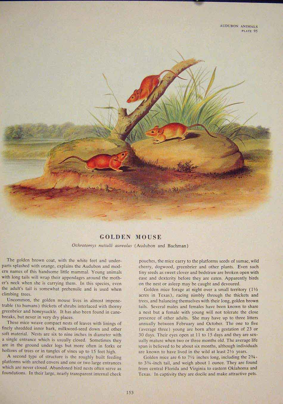 Print Golden Rat Rats Shrew Mouse Rodent Color 536491 Old Original