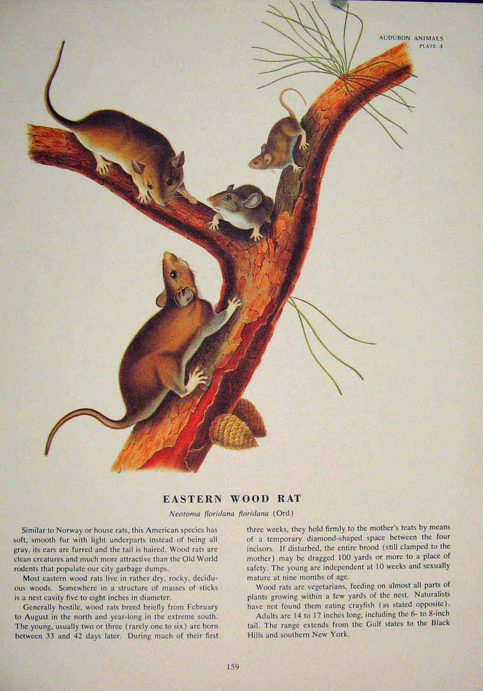 Print Eastern Wood Rat Rats Shrew Mouse Rodent Color 596491 Old Original