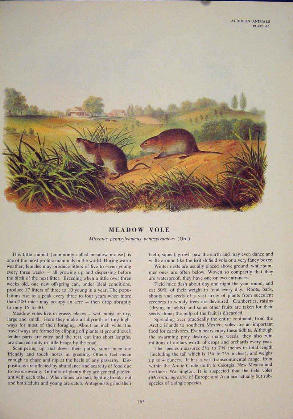 Print Meadow Vole Rat Rats Shrew Mouse Rodent Color 636491 Old Original
