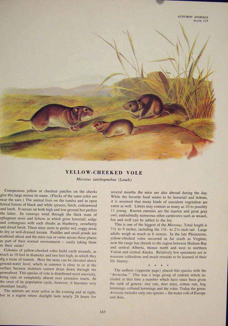 Print Yellow Cheeked Vole Rat Rats Shrew Mouse Rodent Color 656491 Old Original