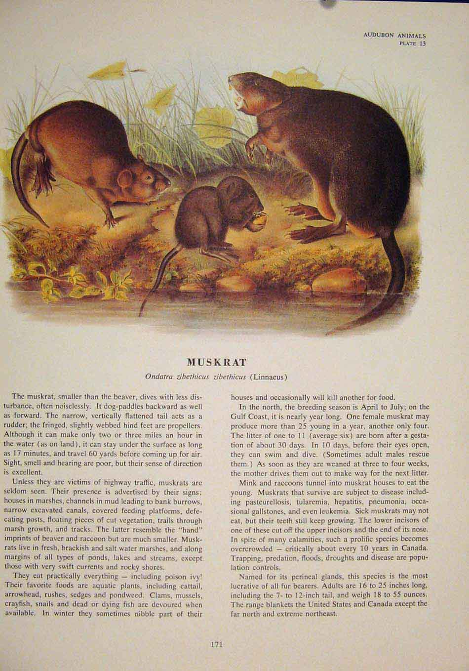 Print Muskrat Rat Rats Shrew Mouse Rodent Color 716491 Old Original