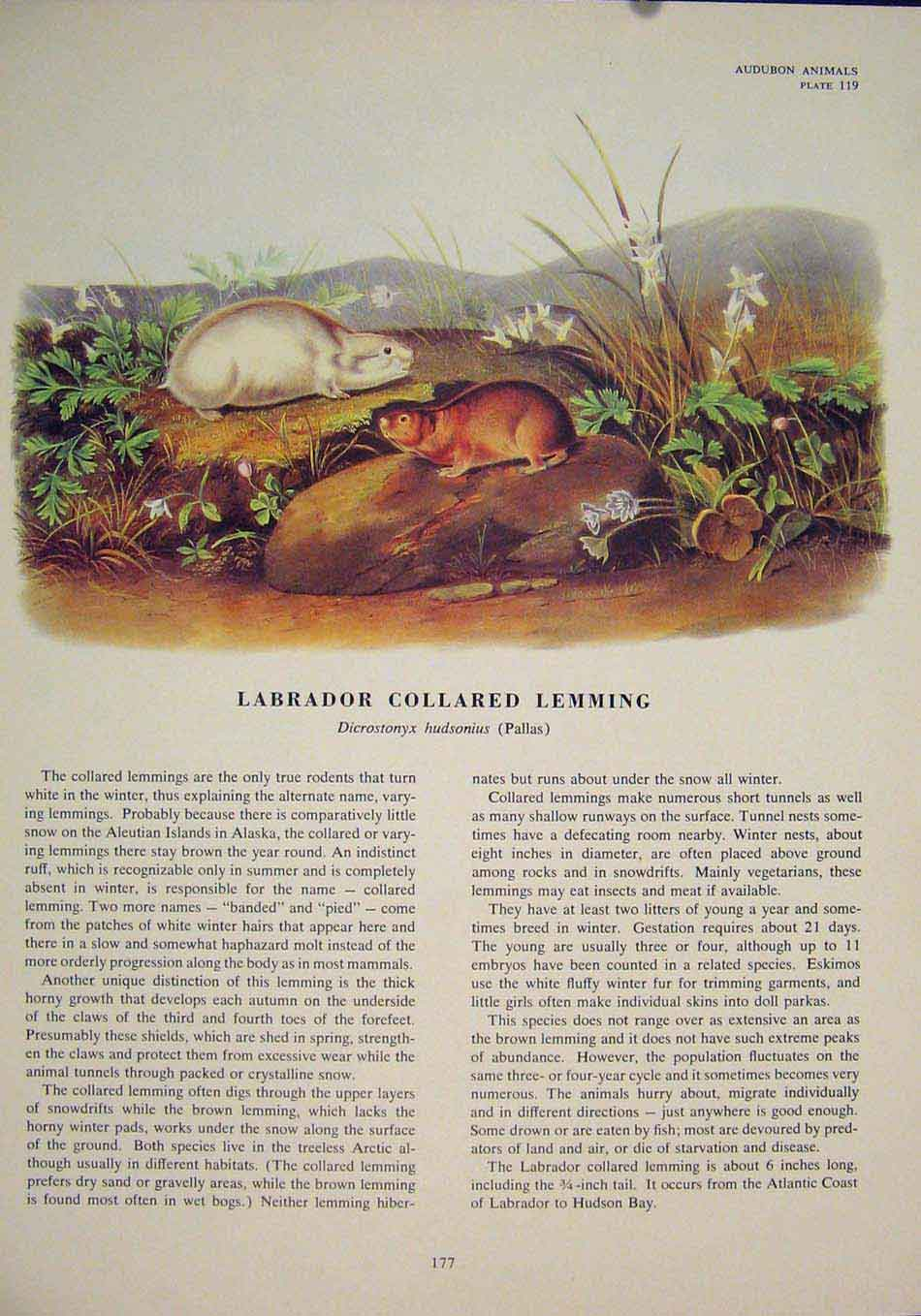 Print Labrador Collared Lemming Rodent Rat Mouse Color 776491 Old Original