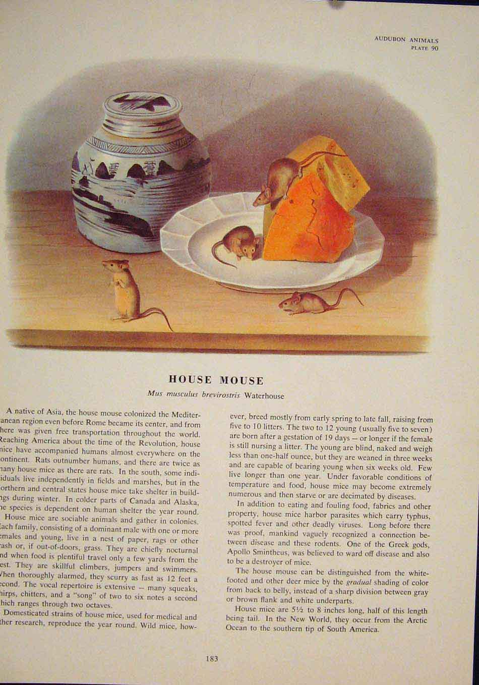 Print House Rat Rats Shrew Mouse Rodent Color 836491 Old Original