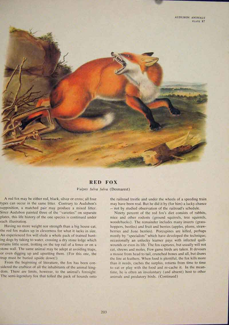 Print Red Fox Wolf Wolves Dog Dogs Foxes Color 036491 Old Original