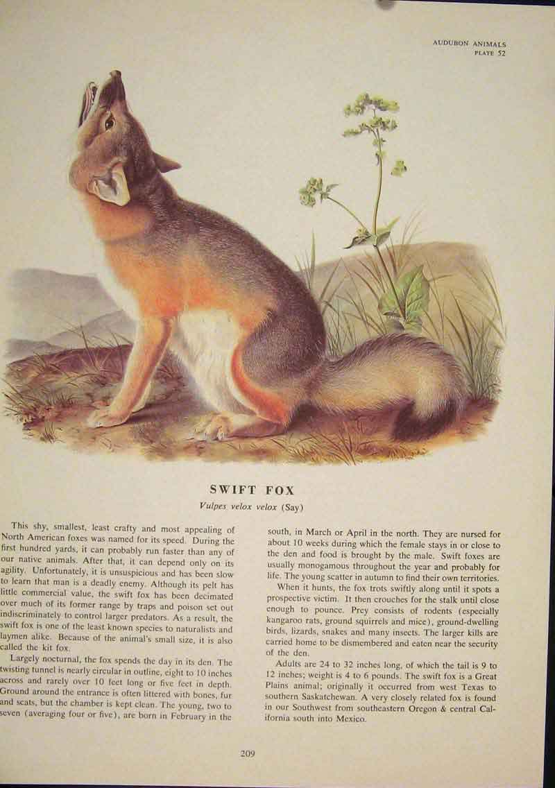 Print Swift Fox Foxes Dog Dogs Wolf Wolves Color 096491 Old Original