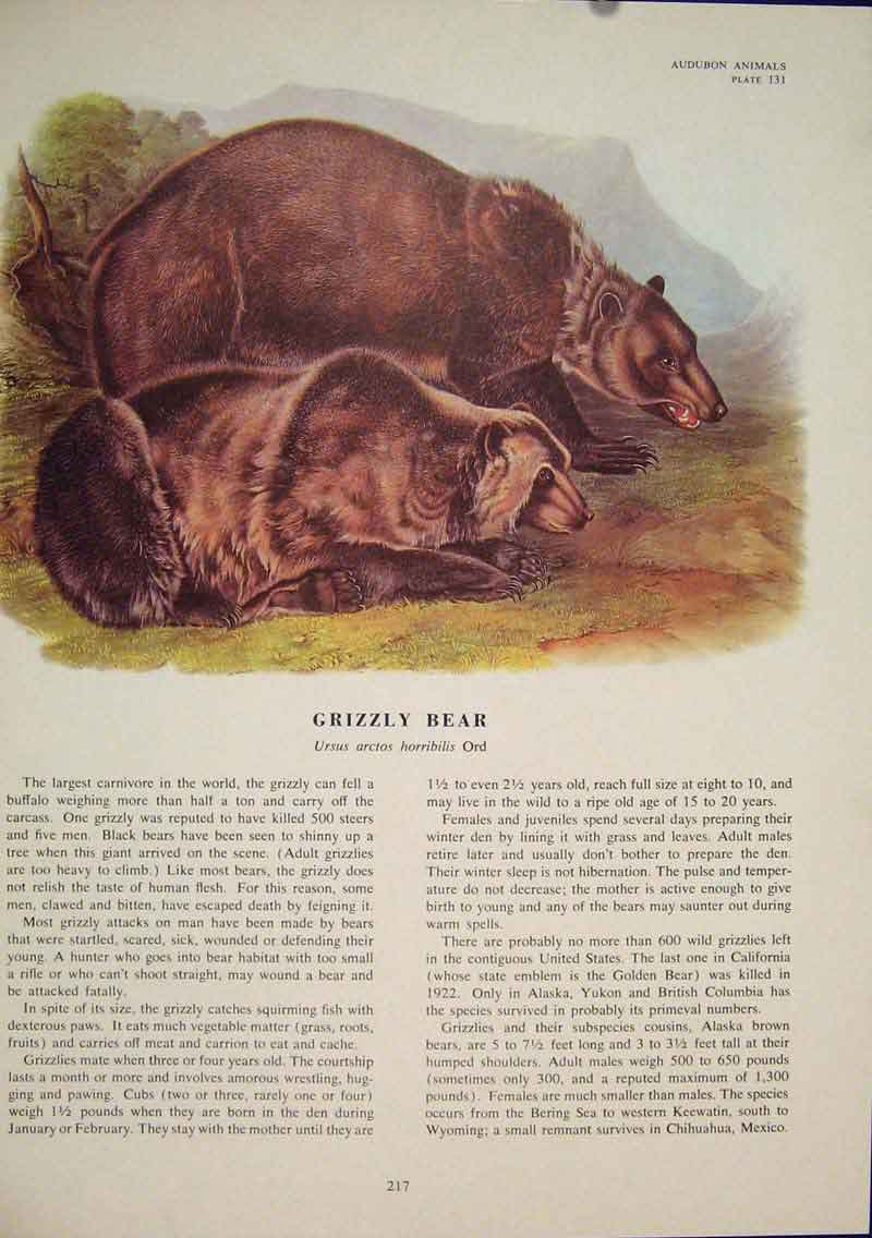 Print Black Grixxly Brown Bear Bears Color 176491 Old Original