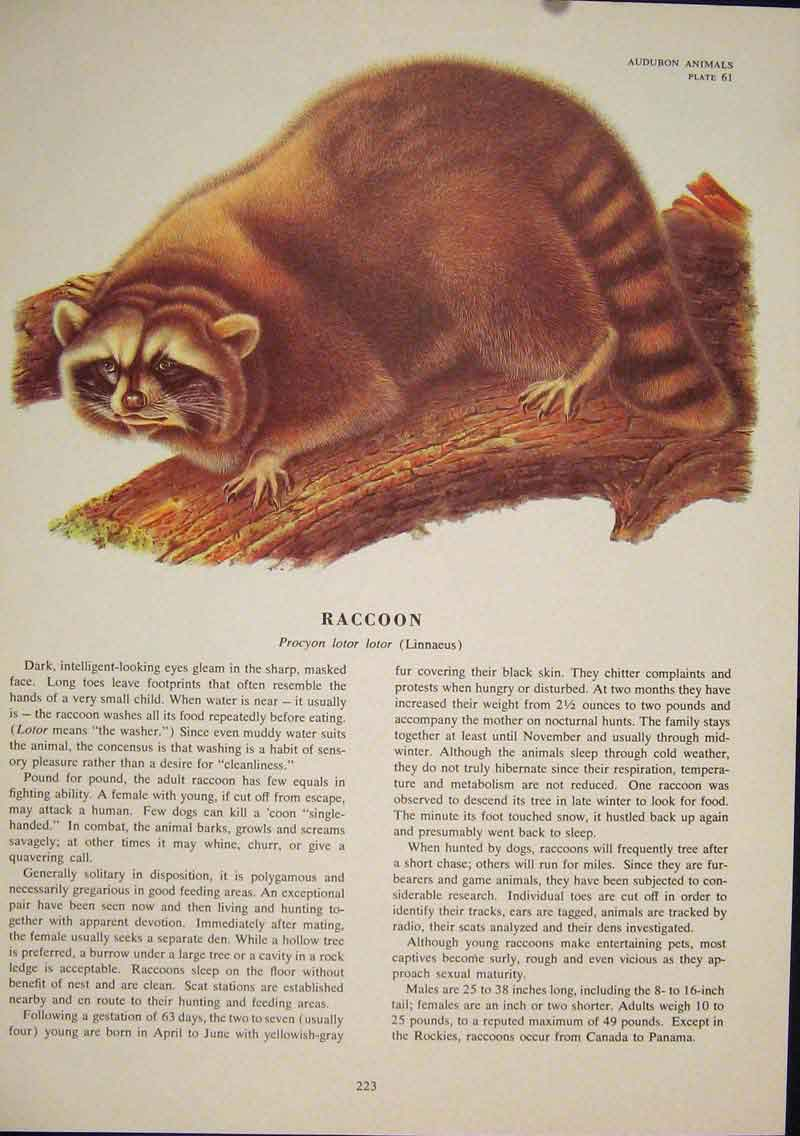 Print Raccoon Rat Rats Shrew Mouse Rodent Color 236491 Old Original