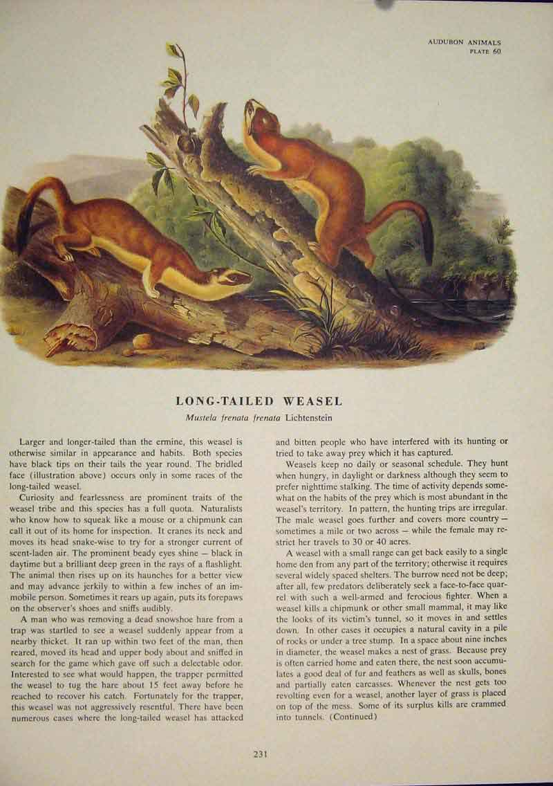 Print Long Tailed Weasel Rat Rats Rodent Color 316491 Old Original