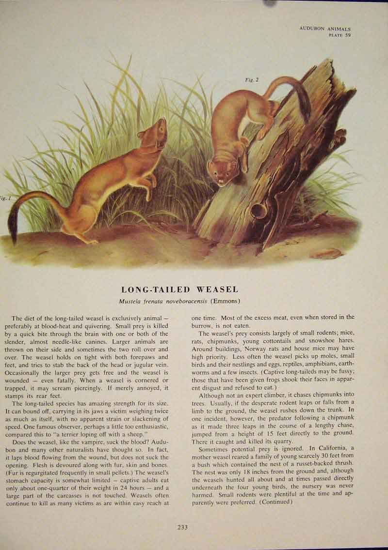 Print Long Tailed Weasel Weasels Rat Rats Rodent Color 336491 Old Original