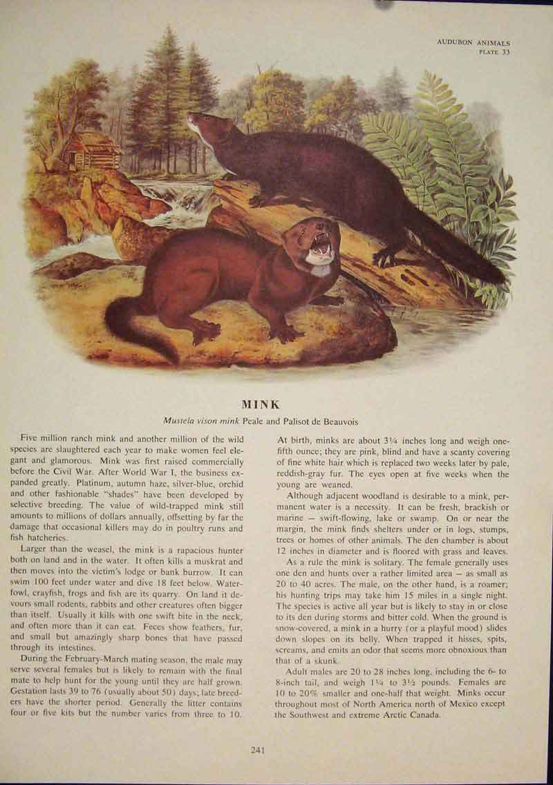 Print Mink Minks Rat Rats Shrew Mouse Rodent Color 416491 Old Original
