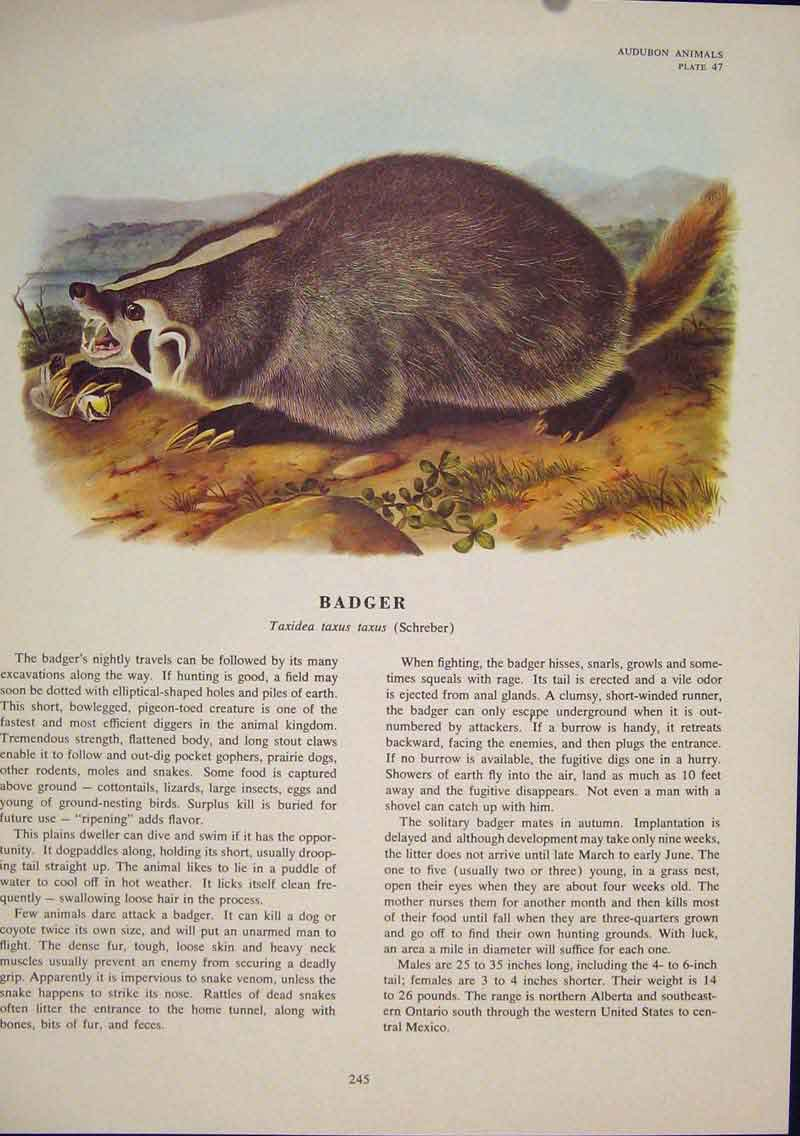Print Badger Rat Rats Shrew Mouse Rodent Color 456491 Old Original