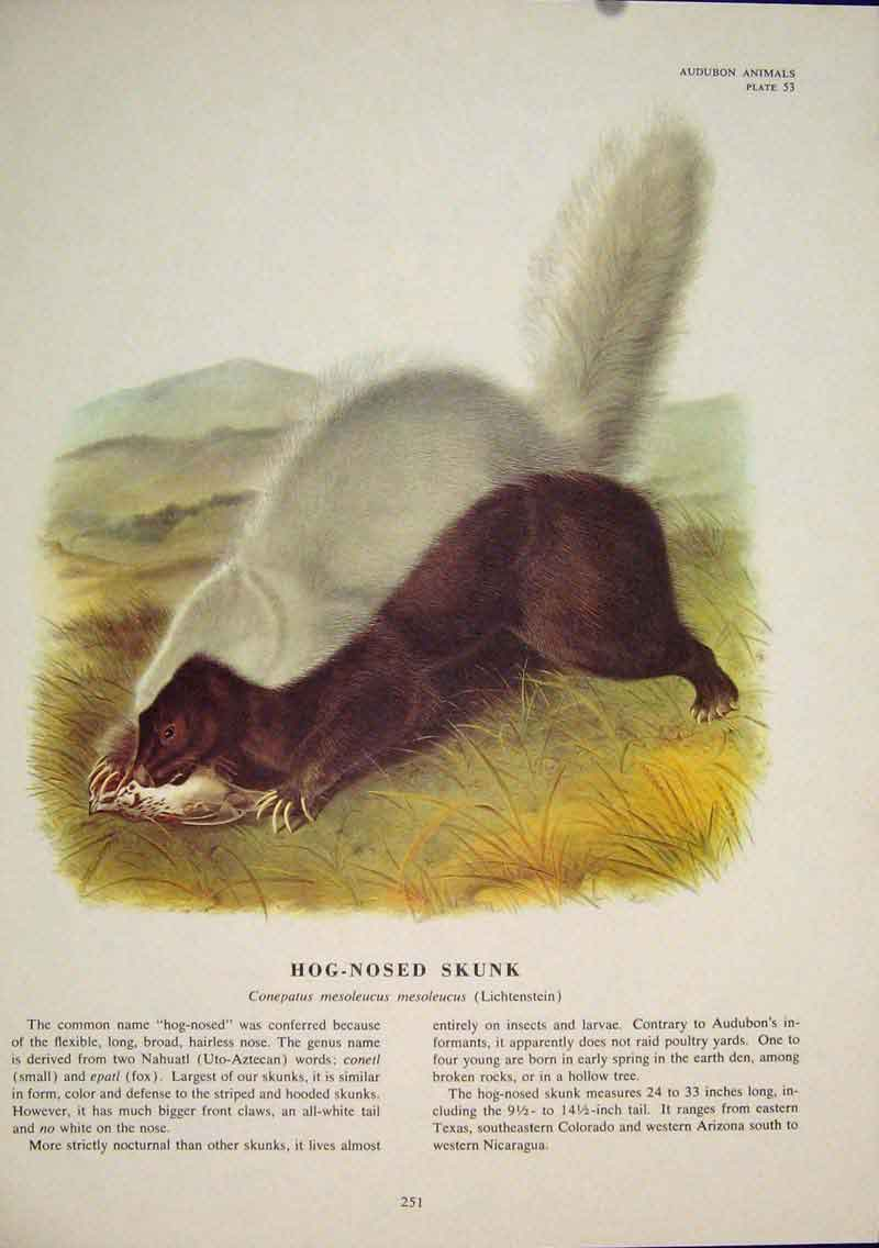 Print Hog Nosesd Skunk Rat Rats Skunks Rodent Color 516491 Old Original