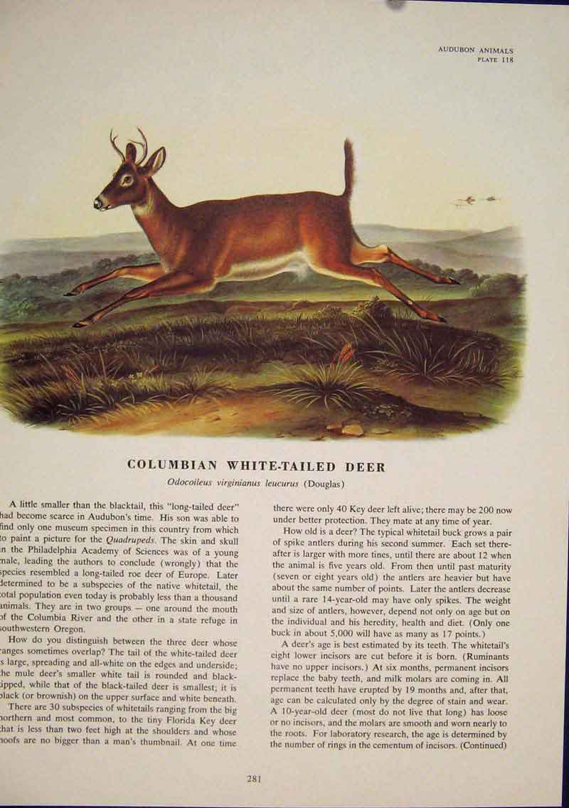Print Columbian White Tailed Beer Buck Animal Color 816491 Old Original