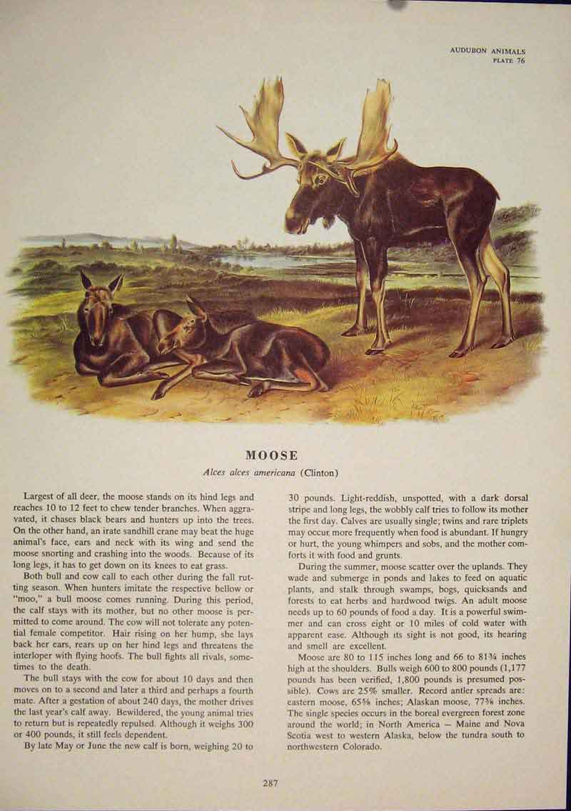 Print Moose Buck Color Quadruped Audubon Art 876491 Old Original
